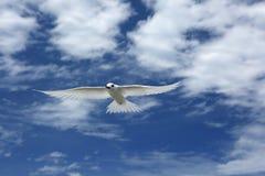 Flying Fairy Tern Bird Stock Photo