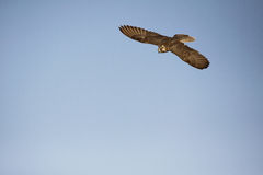 Flying Falcon. Falcon flying through the air while training in the desert Royalty Free Stock Photography