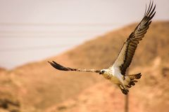 Flying falcon Royalty Free Stock Photo