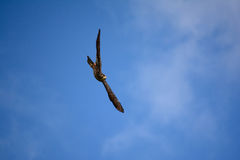 A flying falcon. A New Zealand falcon flying in the sky Stock Photo