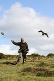 Flying Falconry Fun. A Trained falcon flying to the lure, falconry has been awarded World Heritage Status royalty free stock image