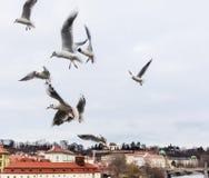 Flying Feeding Seagulls over the Vltava near Charles Bridge stock photography
