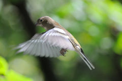 Flying female Chaffinch in autumn Royalty Free Stock Images