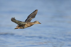 Flying female mallard Stock Photography