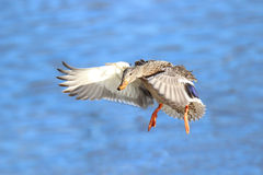 Flying Female Mallard Duck. A female mallard duck flying in to land on a pond Stock Photo