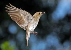 Flying female Pied Flycatcher with the feed Royalty Free Stock Photography