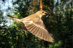 Flying female Pied Flycatcher with the feed Royalty Free Stock Image