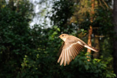 Flying female Pied Flycatcher Royalty Free Stock Images
