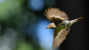 Flying female Pied Flycatcher Stock Images