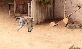 Flying Ferruginous Hawk Buteo regalis Stock Images