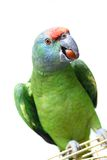 Flying festival Amazon parrot on white Royalty Free Stock Photos