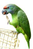 Flying festival Amazon parrot on white. Flying festival Amazon parrot on the white background Royalty Free Stock Photography