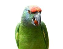 Flying festival Amazon parrot on white Royalty Free Stock Images