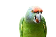 Flying festival Amazon parrot on white Stock Photo