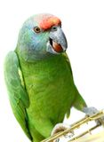 Flying festival Amazon parrot on white Royalty Free Stock Photo