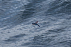 Flying fish. An image of a flying fish in flight Stock Photography