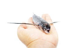 Flying fish. Are commercially fished in Japan, Vietnam and China by the method of gillnetting Royalty Free Stock Photography