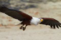 Flying Fish Eagle Royalty Free Stock Photos