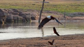 Flying fish eagle Stock Photography