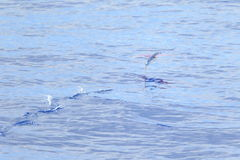 Flying fish flying on sea. In Japan Royalty Free Stock Images