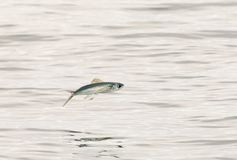 The flying fish in the Maldives is like arrows for water bugs Royalty Free Stock Photos