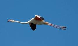 Flying flamingo. Pink Royalty Free Stock Image