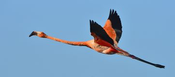 Flying  flamingo Royalty Free Stock Image