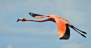 Flying  flamingo Stock Image