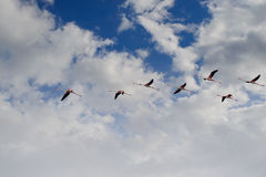 Flying flamingo flight in the blue cloudy sky Stock Photography