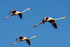 Flying Flamingo Stock Photography
