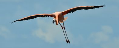 Flying Flamingo Stock Photo