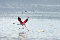 Flying flamingo Stock Images