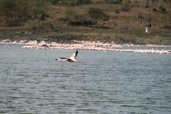 Flying flamingo Royalty Free Stock Photo