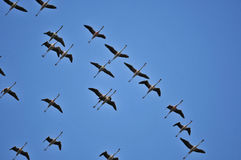 Flying flamingos. And blue sky Stock Photography