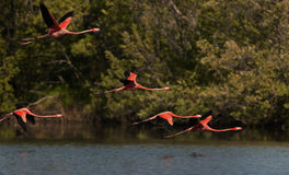 Flying Flamingos. Stock Images