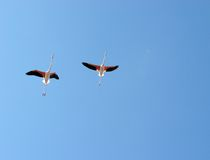 Flying flamingos Stock Photos
