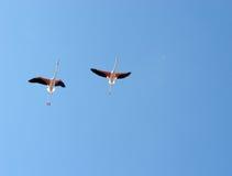 Flying flamingos stock photos