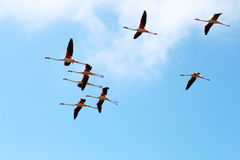 Flying flamingos in the Camargue, France Royalty Free Stock Photos