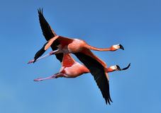 Flying flamingos Stock Photo