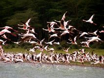 Flying flamingos. Flamingo in lake Naivasha, Kenia Royalty Free Stock Photography