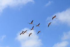 Flying flamingos in the french Camargue Royalty Free Stock Photo