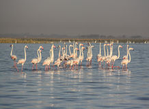 Flying flamingos at Nalsarovar, Gujarat, India. Royalty Free Stock Photos