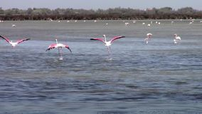Flying flamingos stock video