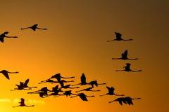 Flying flamingos at sunset Stock Image