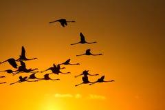 Flying flamingos at sunset Royalty Free Stock Photo