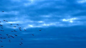 FLYING FLOCK OF BIRDS Full HD Royalty Free Stock Photography