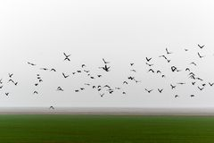 Flying flock of birds. Flying over farmland misty autumn morning a flock of birds Royalty Free Stock Photography