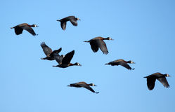 Flying Flock of Ducks Royalty Free Stock Photos