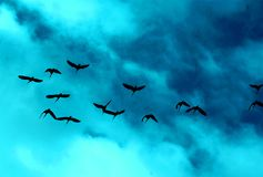 Flying Flock of Ibis Birds Stock Image