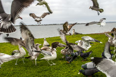 Flying Flock. Is a picture about birds landing on the shore to eat Royalty Free Stock Photo